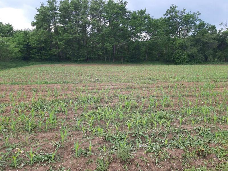 Kiša usporila setvu kukuruza