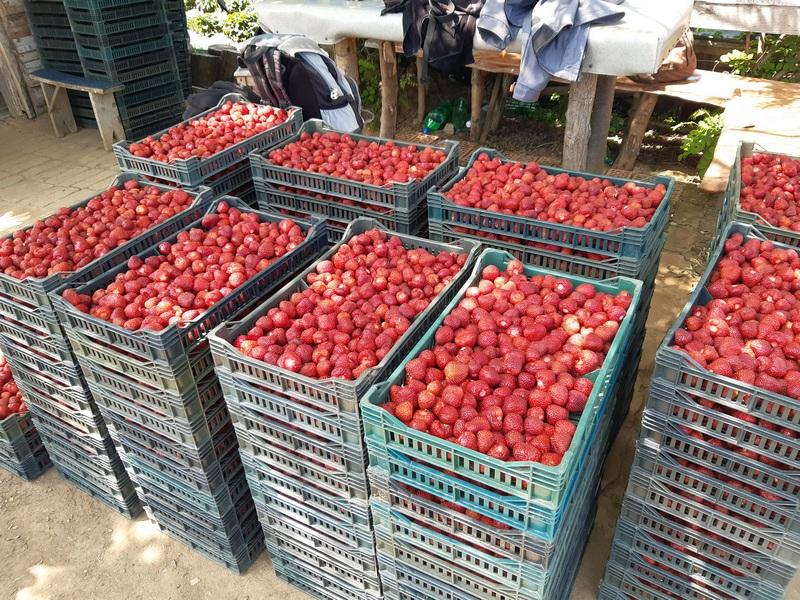 U Leskovcu za kilogram jagoda otkupna cena 120 dinara