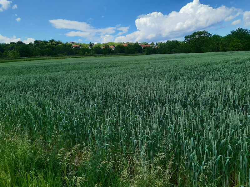 PSSS Leskovac: Žetva pšenice ove godine kasni