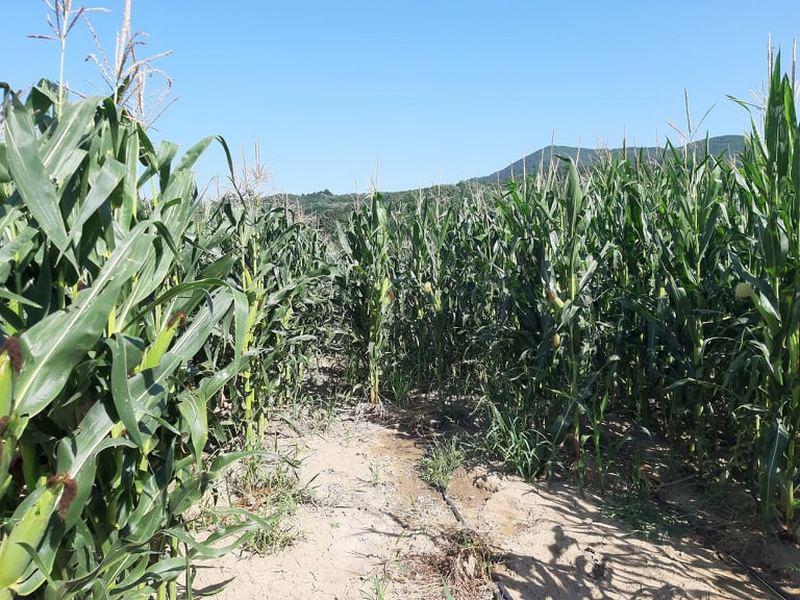 PSSS Leskovac: Berba kukuruza još nije završena, setva pšenice se nastavlja nakon kišnih dana