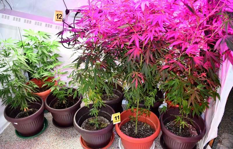 U Merošini uzgajao marihuanu