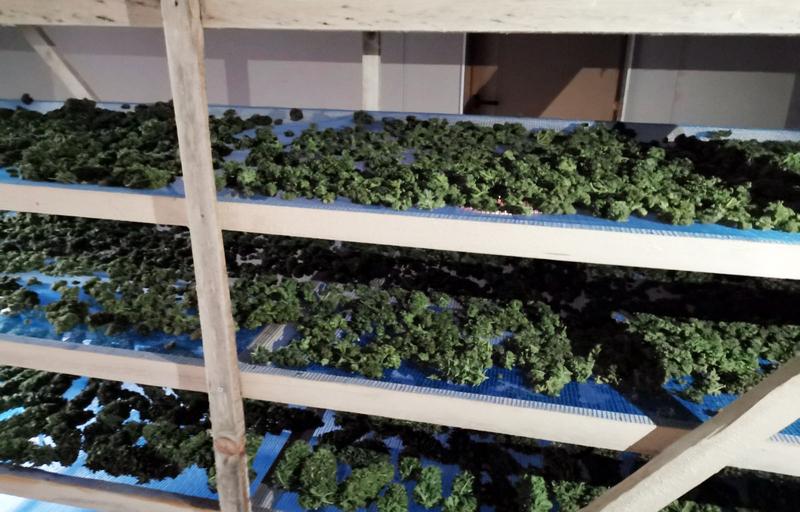 Bračni par M.S. i B.K iz Leskovca dolijao zbog uzgoja marihuane na velikom polju i zaplene 22 kilograma ove droge
